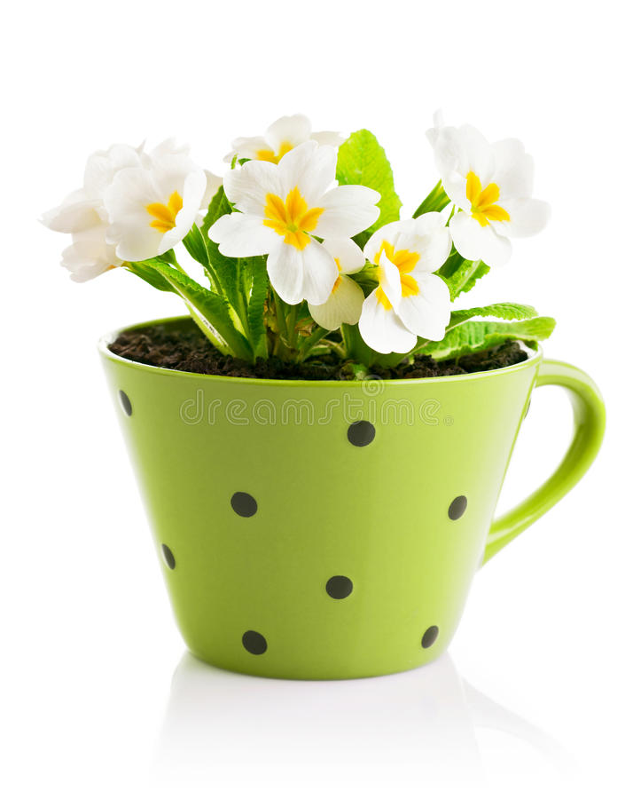 Fleurs de ressort avec des feuilles dans le pot photographie stock libre de droits