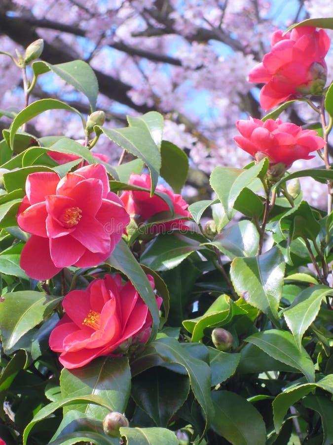 Fleurs de ressort avec l'arbre japonais de fleurs de cerisier image libre de droits
