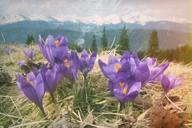 Fleurs de ressort dans les montagnes image libre de droits