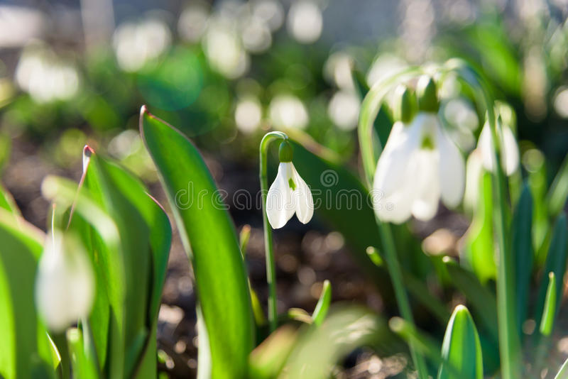 Fleurs de ressort de perce-neige photographie stock