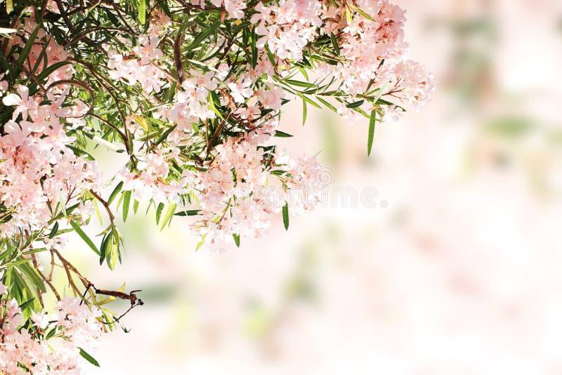 Fleurs de ressort des feuilles roses de couleur et de vert photos libres de droits