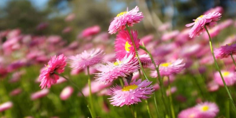 Fleurs de ressort, Park du Roi, Australie occidentale images libres de droits