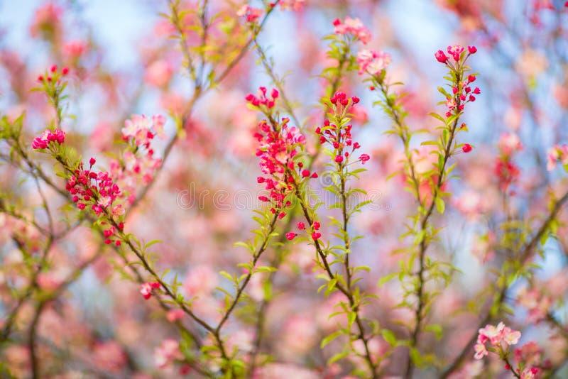 Fleurs de ressort sur un arbre photos libres de droits