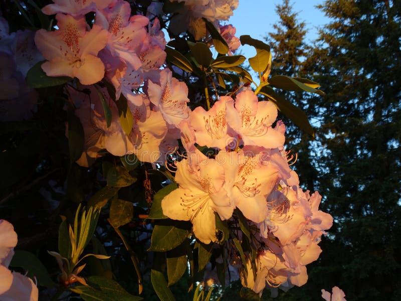 Fleurs de rhododendron images libres de droits