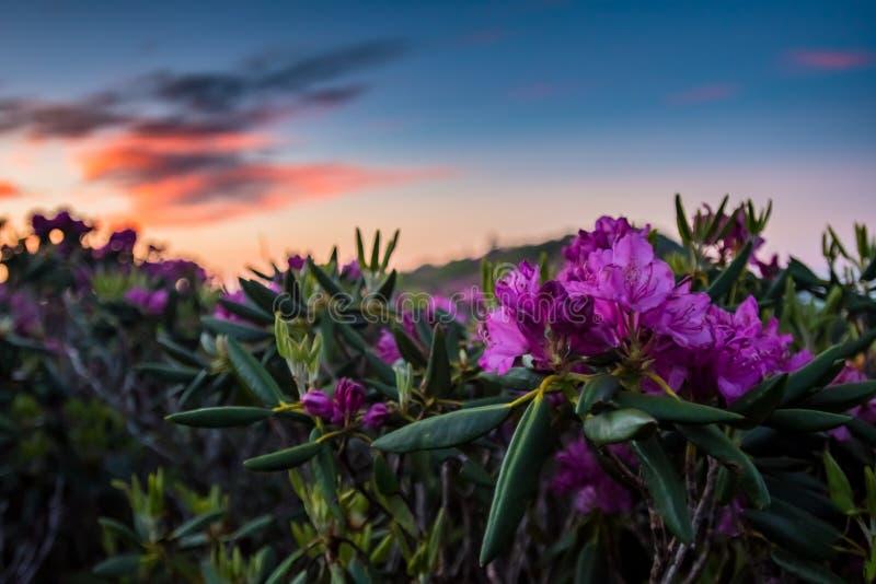 Fleurs de rhododendron avec le lever de soleil photos libres de droits