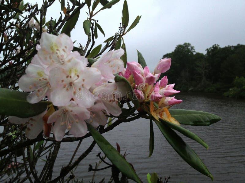 Fleurs de rhododendron en brume, attrait de lac, OR photo stock
