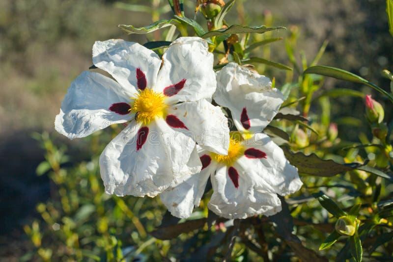 Fleurs de rockrose de gomme photo libre de droits