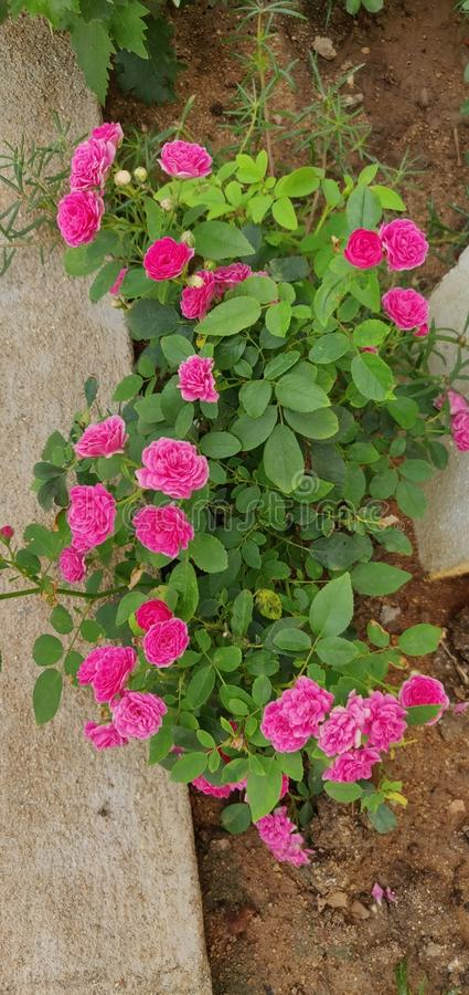 Fleurs de Roja photo stock