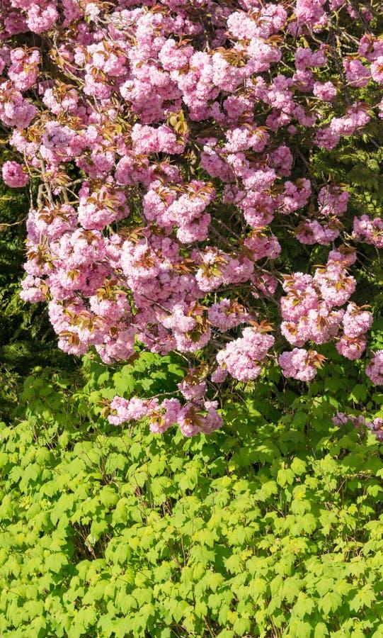 Fleurs de Rose de cerisier de floraison au-dessus des feuilles vertes sur le fond images stock
