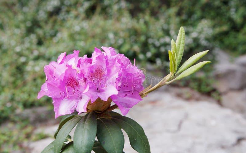 Fleurs de rose d'azalée de rhododendron photo libre de droits