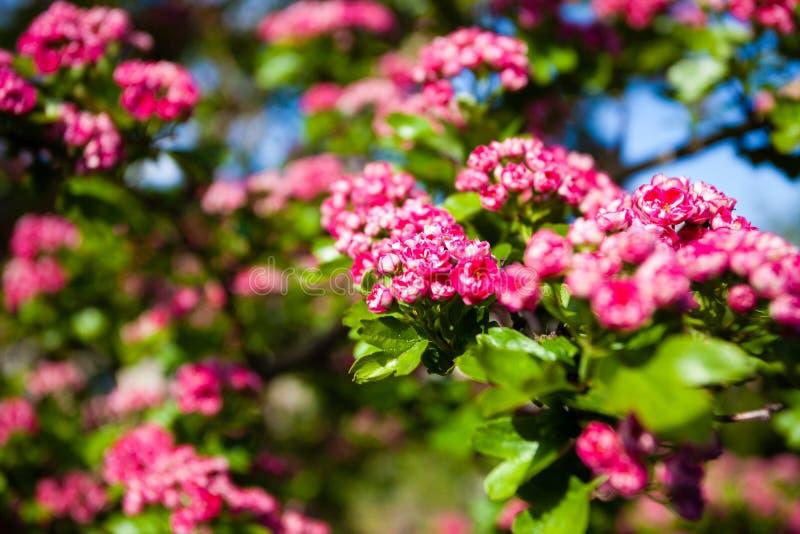 fleurs de rose de bloosoming d 39 arbre d 39 aub pine photo stock image 44298030. Black Bedroom Furniture Sets. Home Design Ideas