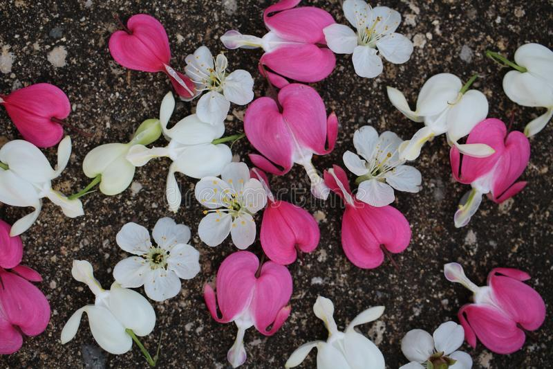 Fleurs de rose et blanches de défenseur de la veuve et de l'orphelin avec des fleurs de cerisier dispersées sur le trottoir image libre de droits