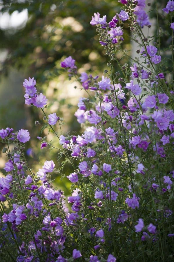 Fleurs de Rose Mallow image stock