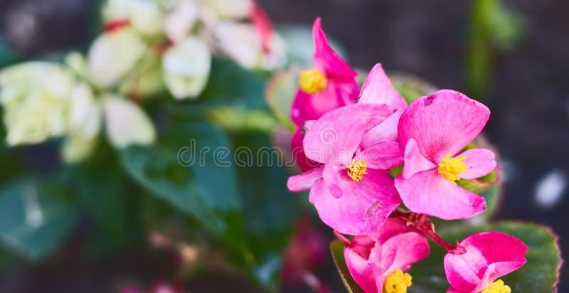 Fleurs de Rose Rubiginosa Sweet Briard avec les fleurs roses sauvages wildflowers flore photographie stock