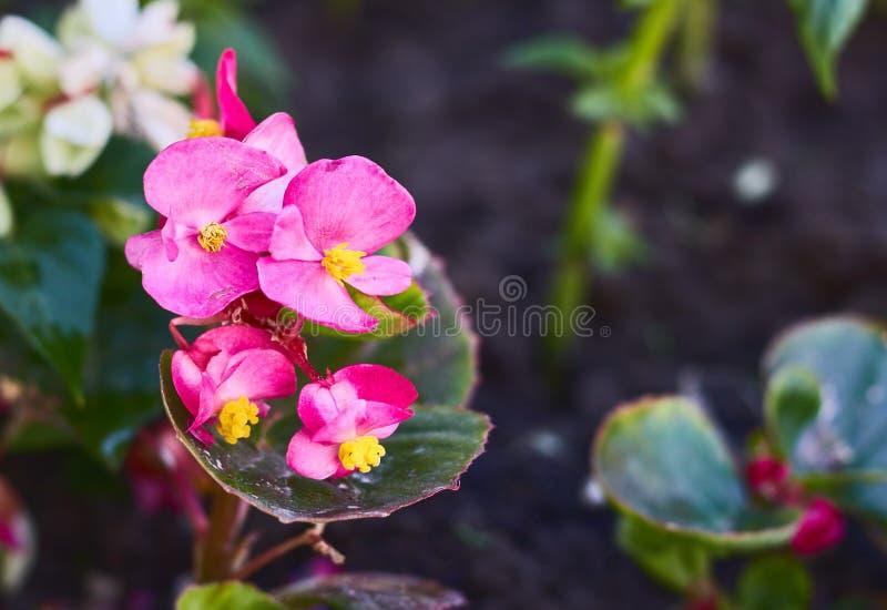 Fleurs de Rose Rubiginosa Sweet Briard avec les fleurs roses sauvages wildflowers flore photo libre de droits