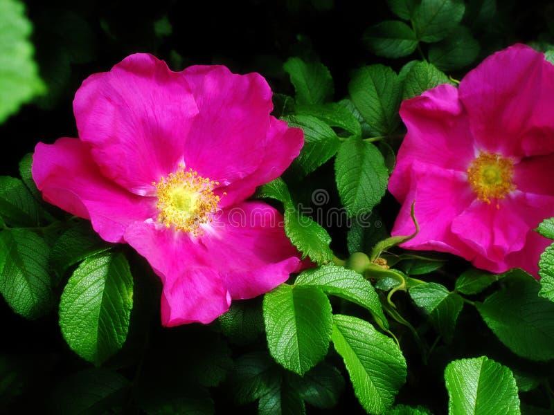 Fleurs de roses de chien photos stock
