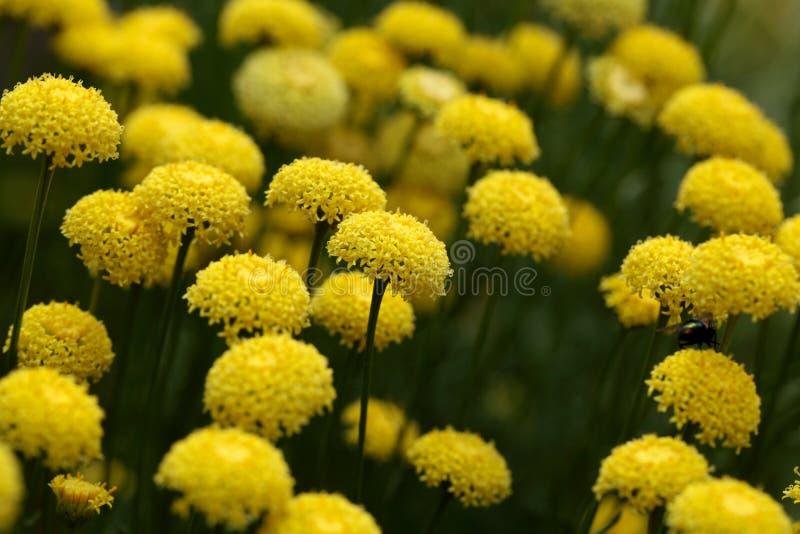 Fleurs de rosmarinifolia de Santolina image stock