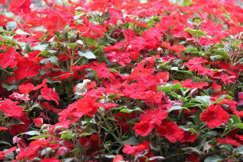 Fleurs de rouge d'Impatiens Balsamina image stock