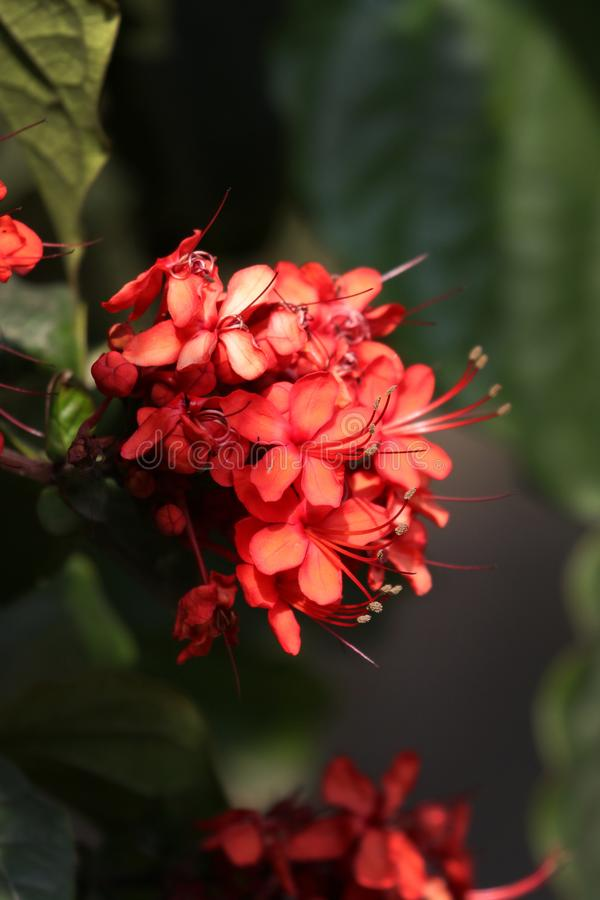 Fleurs de rouge d'Ixora photo stock