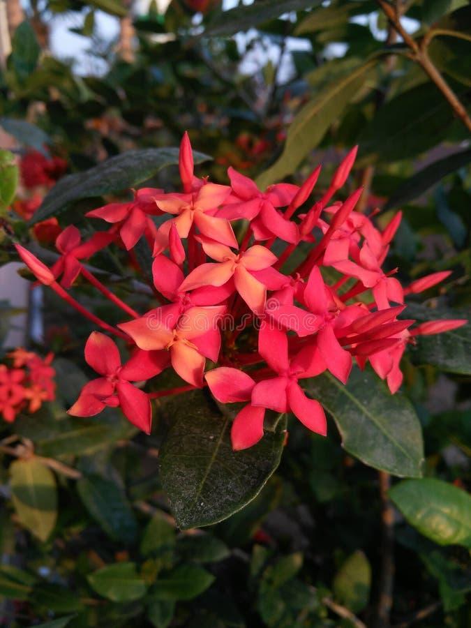 Fleurs de rouge de janvier photos libres de droits