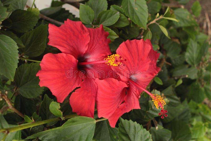 Fleurs de rouge de ketmie photos libres de droits