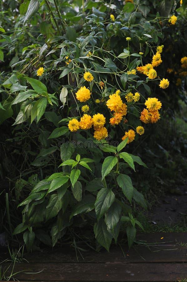 Fleurs de Rudbeckia photo libre de droits