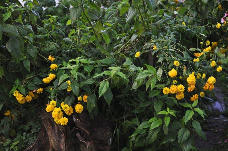 Fleurs de Rudbeckia photographie stock