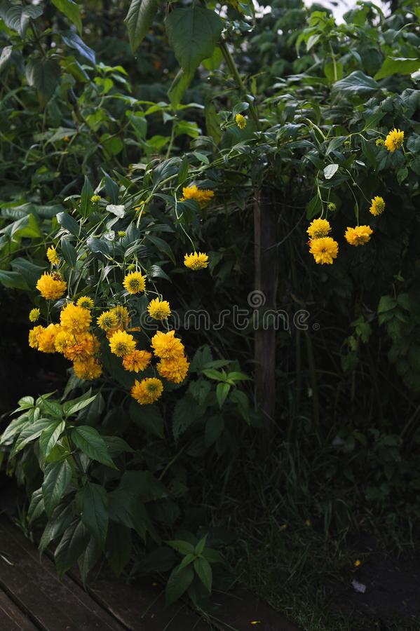 Fleurs de Rudbeckia photos libres de droits