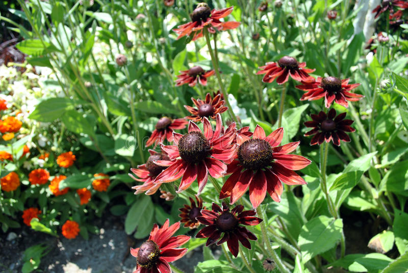 Fleurs de Rudbeckia image libre de droits