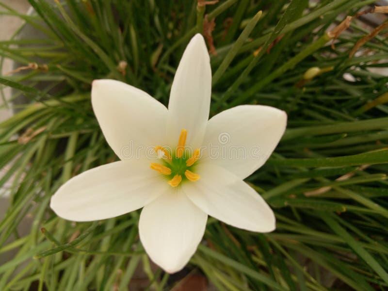 Fleurs de safran avec la feuille verte images libres de droits