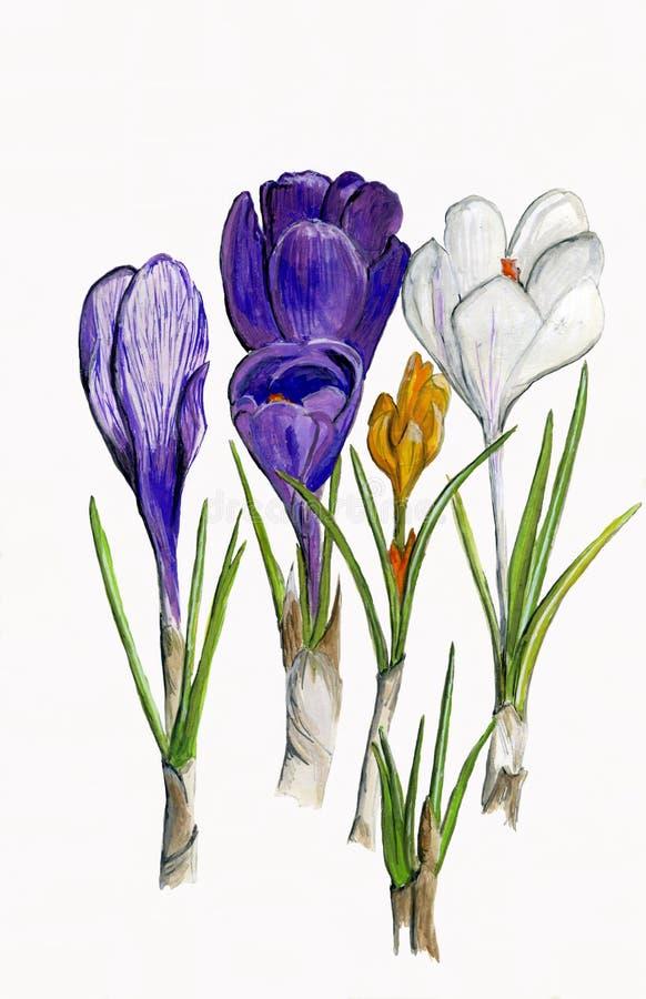 Fleurs de safran d'illustration illustration libre de droits