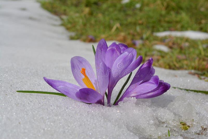 Fleurs de safran dans la neige de fonte, montagne de Goc, Serbie photos stock