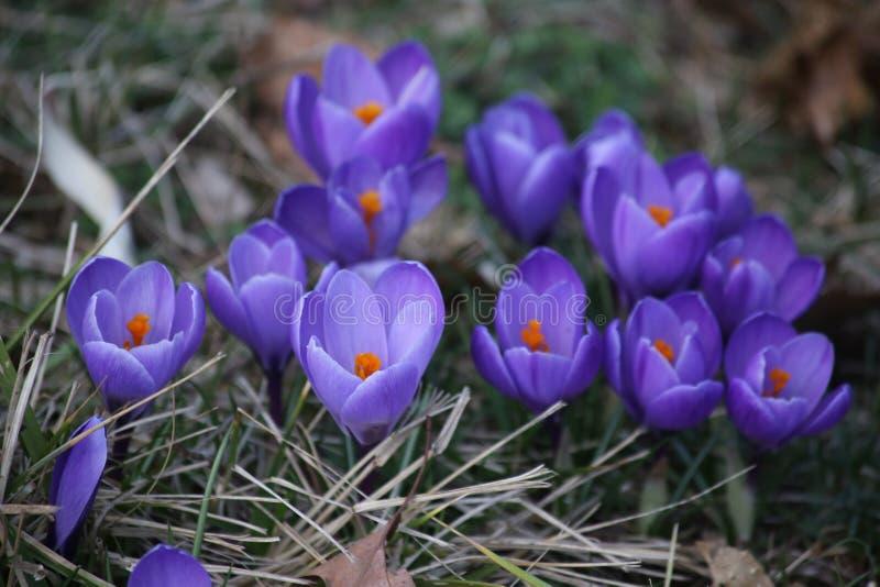 Fleurs de safran en soleil de printemps photo stock