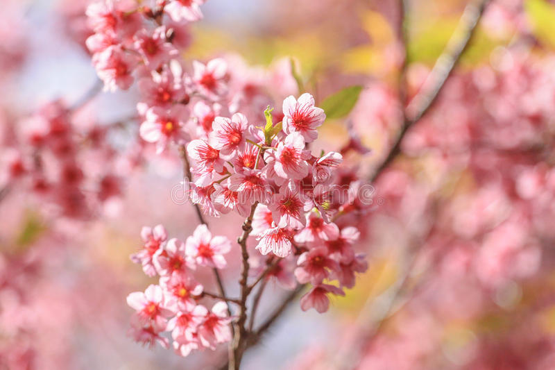 Download Fleurs de Sakura image stock. Image du ressort, romantique - 45368535