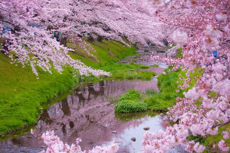 Fleurs de Sakura image libre de droits
