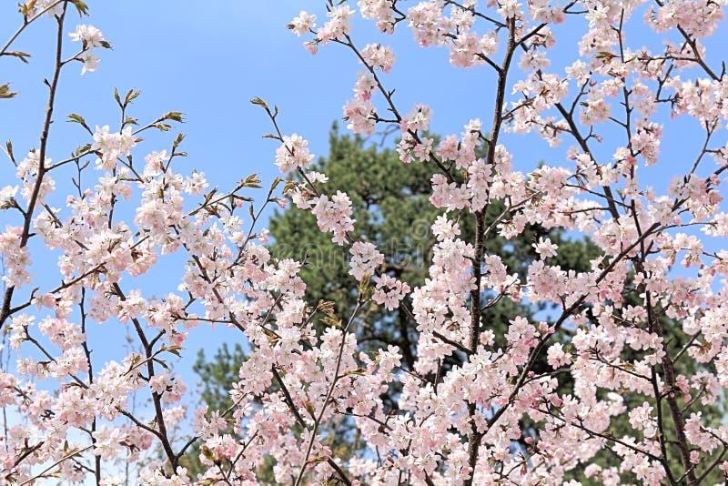 Fleurs de Sakura aspirant au soleil et nous donnant leur beauté photo stock