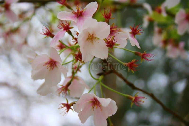 Fleurs de sakura japonais photo libre de droits