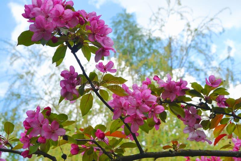 Fleurs de Sakura Jardin, fleur, fleurs roses sur le fond de ciel bleu photo libre de droits