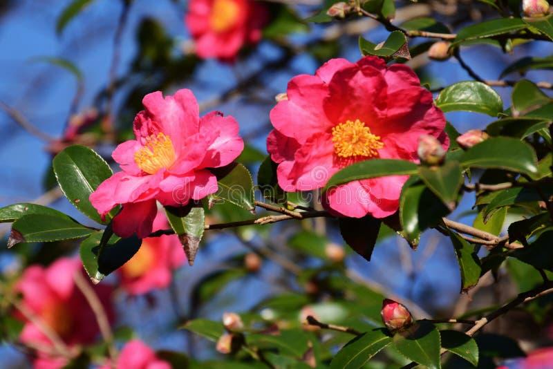 Fleurs de sasanqua de camélia photos libres de droits