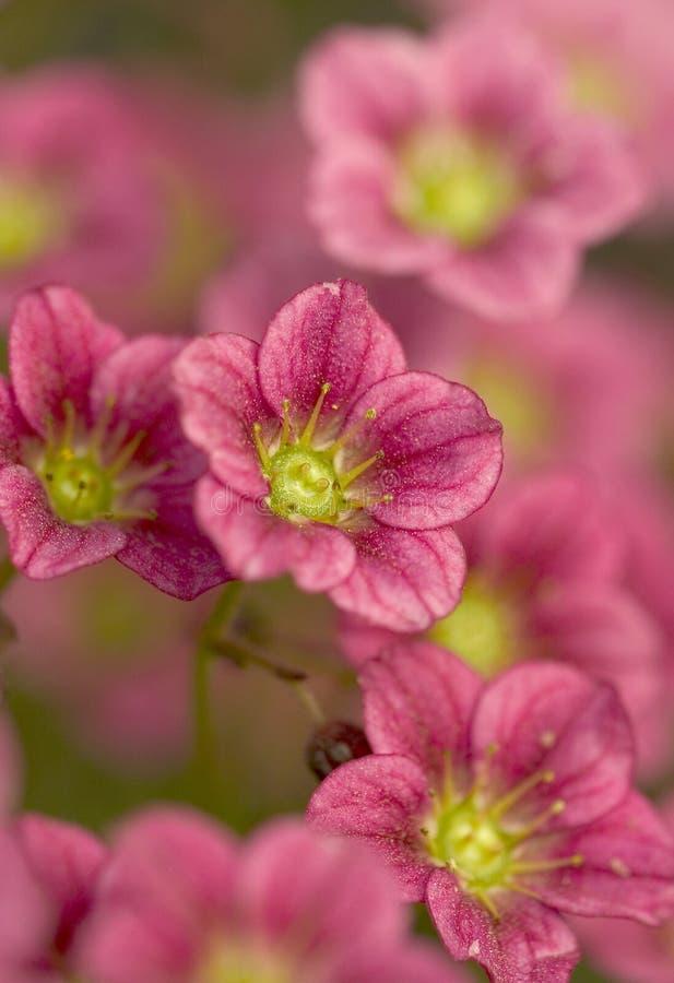 Fleurs de Saxifrage (Saxifraga arendsii) stockbilder