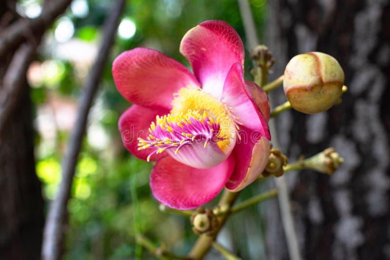 Fleurs de Shorea robusta ou sel ou shala ou shaal ou ashvakarna ou chiraparna ou sarja ou pseudocamellia d'Ashoka ou de Stewartia photographie stock libre de droits