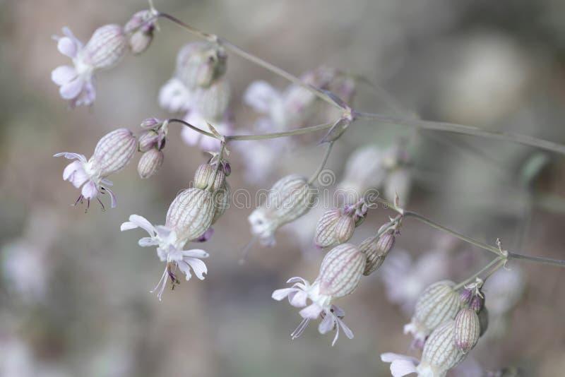 Fleurs de silène enflée (Silene vulgaris) photo stock