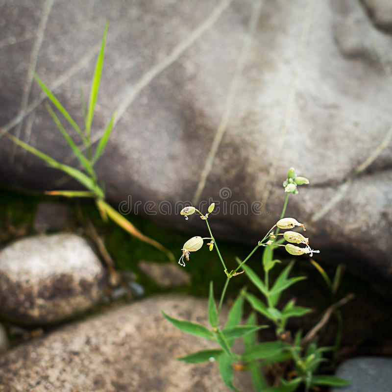 Fleurs de silène enflée, Silene vulgaris images stock