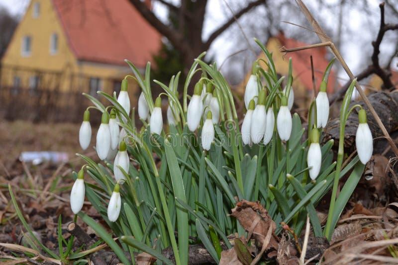 Fleurs de source dans le jardin photos libres de droits