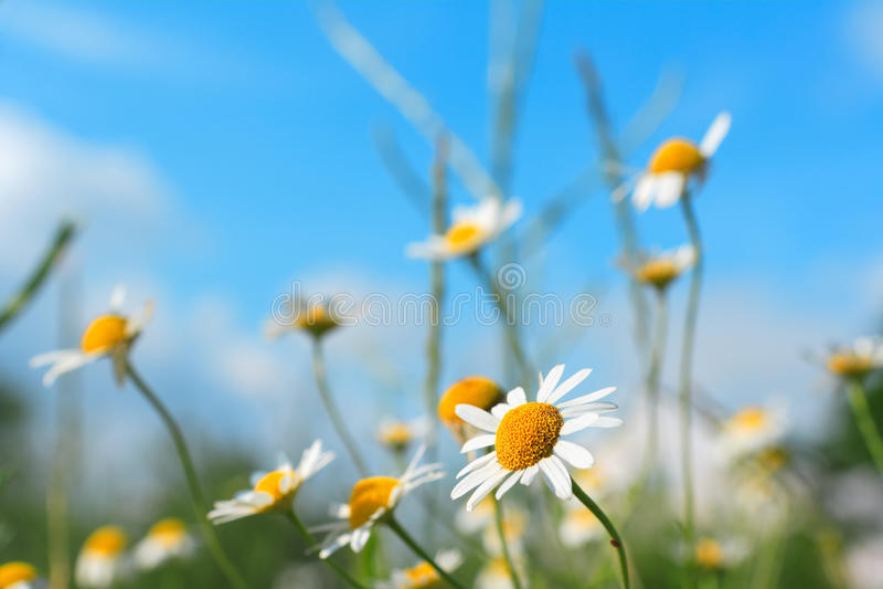 Fleurs de source de marguerite sur un ciel bleu image stock