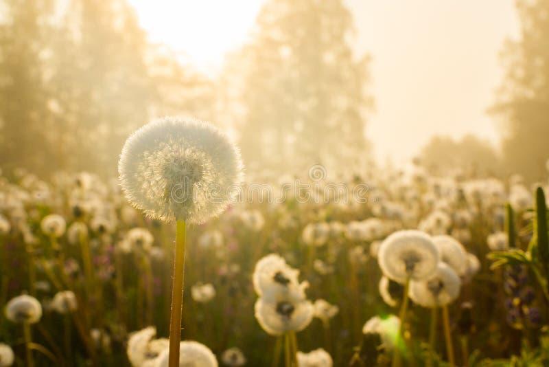 Fleurs de source du pissenlit field photo stock