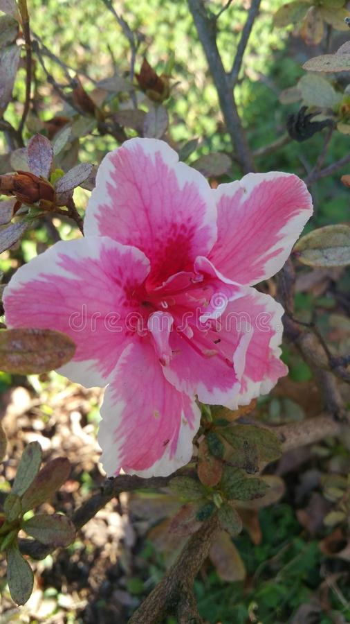 Fleurs de source en fleur images libres de droits