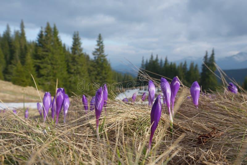 Fleurs de source en montagnes photographie stock libre de droits
