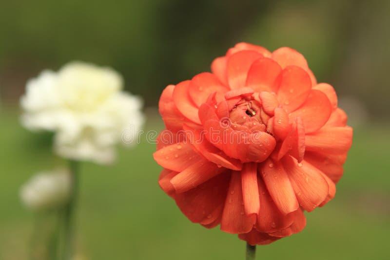 Fleurs de source sous la pluie image stock