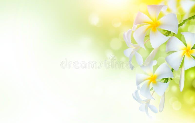 Fleurs de station thermale de Frangipani Conception tropicale de floraison d'art de frontière de fleur de Plumeria image libre de droits